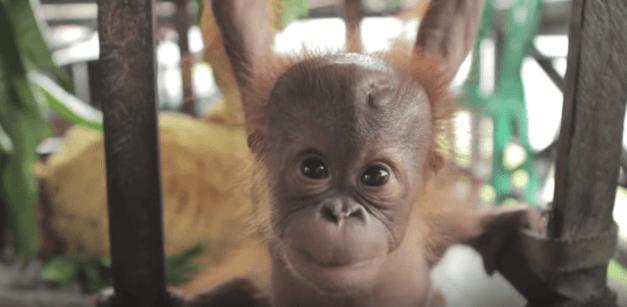 13_orangutan_inteligente